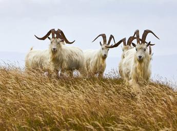 Kaschmir Ziegen - Naturbild aus Schottland