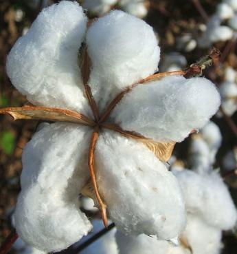 Baumwolle als schöne frische Blüte