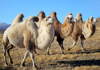 Kamelflaum - Hochland Kamele - Vorschau der Tiere in der Natur